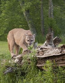 stock photo of cougar  - Cougar climbing on fallen log with woods in the background