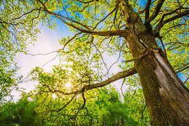 image of canopy  - Spring Sun Shining Through Canopy Of Tall Oak Trees - JPG