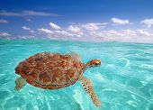 foto of green turtle  - Green sea Turtle Chelonia mydas  Caribbean sea Cheloniidae water surface - JPG