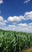 Imgreen maíz