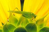 locust on the sunflower