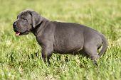 Puppy Great Danes
