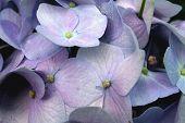 Hydrangea Purple Closeup