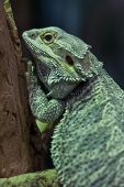 Central bearded dragon (Pogona vitticeps), also known as the inland bearded dragon. poster