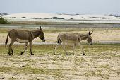 Donkeys In The Beach