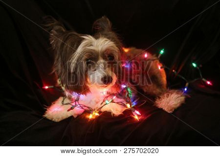 poster of Christmas Dog. Christmas Dog. Chinese Crested dog. Chinese Crested Dog with Christmas lights. Isolat