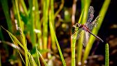 Red Dragonfly on Horsetail Plant