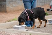 Rottweiler Checking A Box For Odor During A Scent Work Game poster