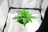 Growing Marijuana At Home Indoor. Cultivation Growing Under Led Light. Vegetation Of Cannabis Growin poster