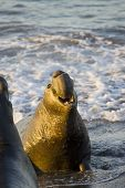 Bull Elephant Seal prepares to fight on San Simeon Beach