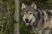 picture of north american gray wolf  - Male Wolf emerges from the Montana woods - JPG