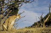 Cougar sits on a hillside in Montana