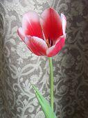 Tulip In Natural Light