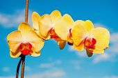 Summer Or Spring Season. Flower With Fresh Blossom On Blue Sky. Blossoming Orchid With Yellow Petals poster