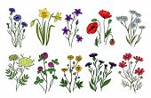 Wild Herbs And Flowers. Wildflowers, Meadow Plants. Hand Drawn Summer And Spring Field Flowering. Vi poster
