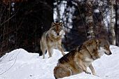 Two Wolves (canis Lupus)  In Winter, Wolfs Running In Snow, Attractive Winter Scene With Wolves , Be poster