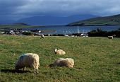 Sheeps And Sea In Dingle In Ireland