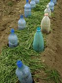 vegetable bed with plastic bottles as small hotbeds and grass mulch scattered between them for keepi