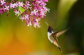 Volcano Hummingbird - Selasphorus Flammula, Beautiful Colorful Small Hummingbird From Central Americ poster
