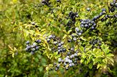 Closeup Of Dewu Blue Blackthorn Berries Growing In The Wild Nature On The Branches And Twigs Of A Sh poster