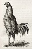Malay chicken old illustration. By unidentified, published on Merveilles de la Nature, Bailliere et fils, Paris, ca. 1878