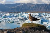 Big Bird Standing On A Hill Above Icebergs In Jokulsarlon Glacier Lagoon. Global Warming And Climate poster