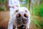 Cute Golden Retriever Outside. Close Up Shot Of Dog Nose poster