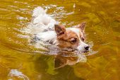 Black And White Dog In The River.. A Cute Dog Of 2 Years Old On A Background Of Nature. Free Dog. Cu poster