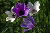 Purple and White Anemone
