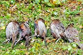 excludes of dead pheasants