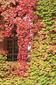Autumnal leaves on building