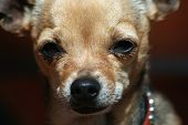 picture of applehead  - a close up of a cute chihuahua - JPG