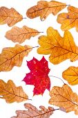 One Red Dried Autumn Maple Leaf Surrounded By Oak Leaves