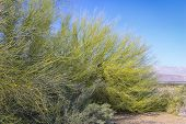 stock photo of anza  - Vibrant Green Salt Cedar at Anza - JPG