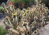 stock photo of anza  - Blooming Cactus with Yellow Flowers at Anza-Borrego Desert