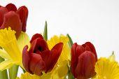 Daffodils And Tulips Border