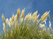 foto of pampas grass  - Bright plumes of Pampas Grass against a summer blue sky - JPG