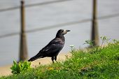 Corvus Frugilegus In The Grass