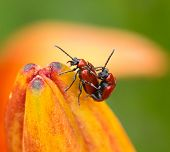Chrysomelidae insects on lilies