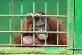 Orangutan In Cage