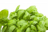 Fresh leaves of basil