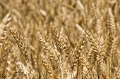 Wheatfield With Ripe Golden Wheat