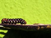 Emperor Butterfly Caterpillar