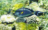 Arabian Surgeonfish Underwater Red Sea