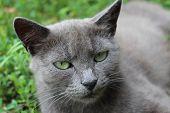 Siamese Cat In The Green Grass