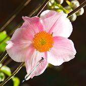Morning Sunshine Shining Through Pink Anemone Flower