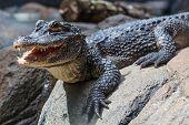 Yangtze Alligator