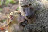 Baby And Mother Olive Baboon (papio Anubis)
