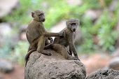 stock photo of anubis  - A couple of young olive baboons  - JPG