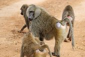 Group Of Olive Baboons (papio Anubis)